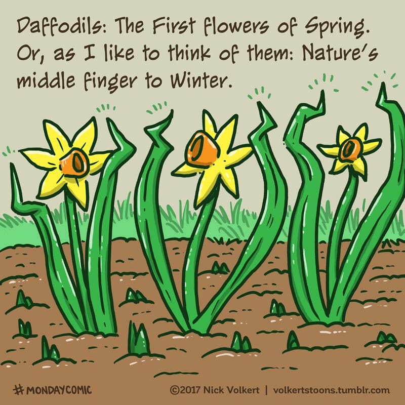 A group of daffodils flips the bird at Winter.
